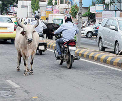 Now, dial 100 to report stray cattle menace