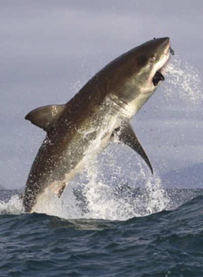 Falling shark numbers off the Karnataka coast alarms experts