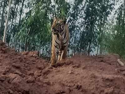 Tiger spotted in area adjoining a forest in Telangana village