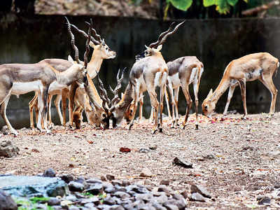 Patched up wall at Katraj Zoo leads to 4 blackbucks dying