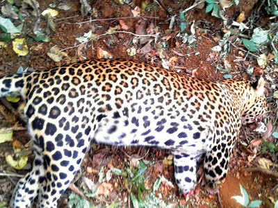 In rare brutality, leopard poached with its paws and teeth hacked off