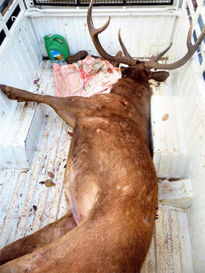 Team in hot pursuit of poachers who killed Sambar deer