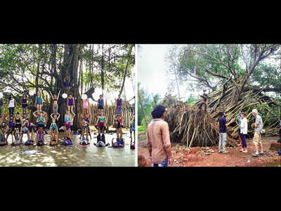 Photos: Goa's iconic tree, once fallen, stands again helped by an online crowd-funding effort