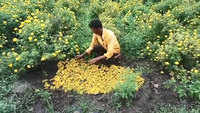 Maharashtra: Heavy rains damaged marigold flowers, prices rise ahead of Dussehra
