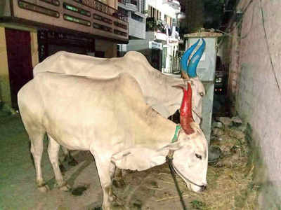 Two held for illegal animal slaughter