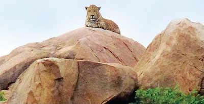 Leopard visits Hampi