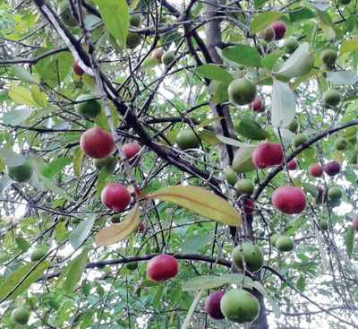 A fresh attempt to revive kokum