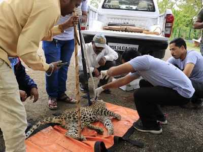 Baby leopard suffers serious injuries in Sangamner