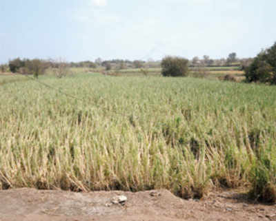Sugarcane kills groundwater