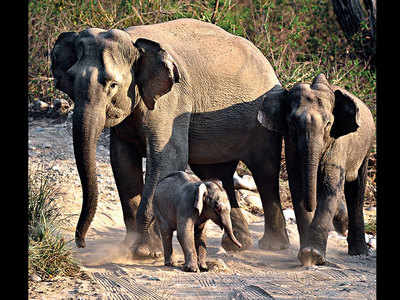 Corbett scare: Tigers killing, eating elephants