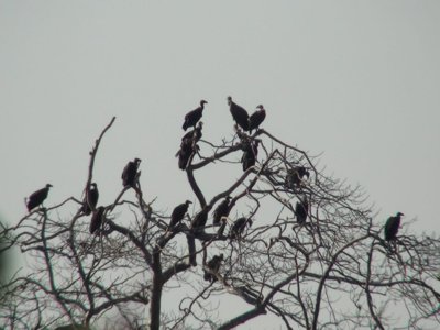 Cyclone Nisarga causes extensive damage to vulture nests in Shrivardhan and Mahad areas of Raigad