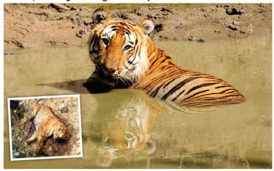 Grim wake-up call as tiger mortality rises