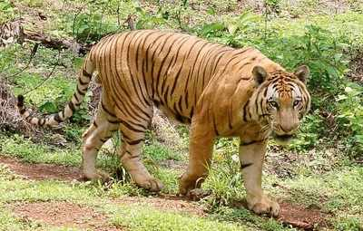 Size matters: Tigers survive better in larger areas, research says