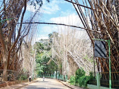 200 dry bamboo stems have been lying around for 6 months at Cubbon Park