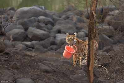 1,160 and 450 km: Two trekking tigers walk into record books