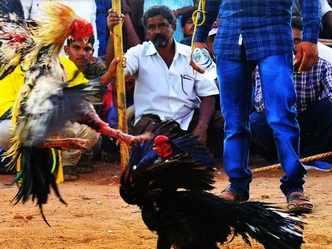 Cockfights are a bloodsport, and a multi-crore biz in Andhra Pradesh