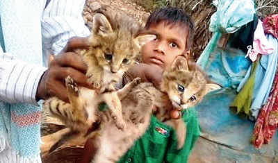 Andhra child adopts 'stray kittens', they turn out to be baby leopards!