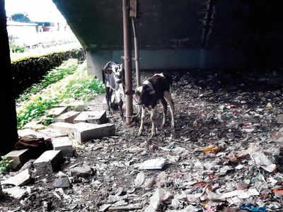 9 starving calves rescued from a makeshift tin shed under a foot overbridge outside Ghatkopar station
