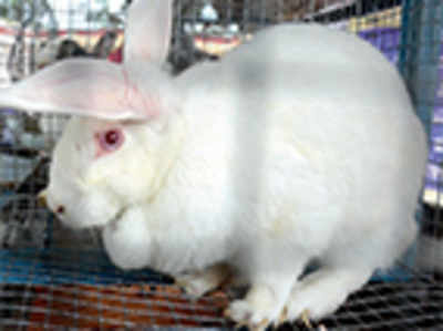 State in a spot after ban on broiler rabbits