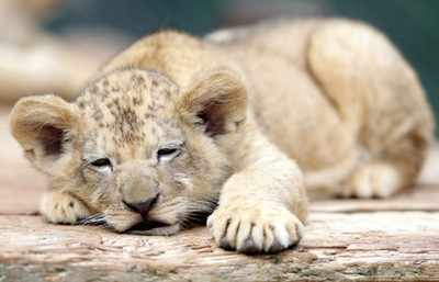 Lion ambulance rescues cub in Gir