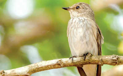 Rare migrant bird spotted in Manipal