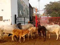 Overflowing with stray cattle, Noida gaushala needs land