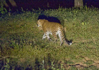 Leopard enters residential area, causes panic in Aurangabad