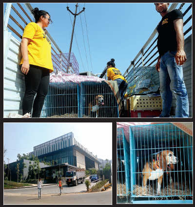 Released from lab, beagles take first steps to freedom