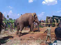 Tamil Nadu: Crop-raiding wild elephant Chinna Thambi captured in Tirupur