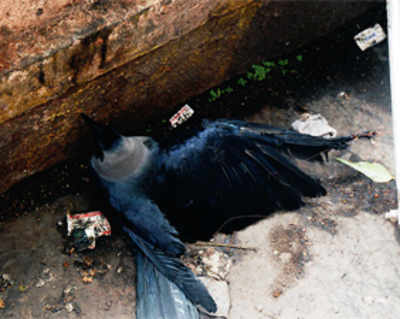 Birds starve, with chewing gum stuck to their beaks