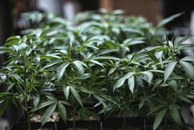 ANC busts cannabis peddling cartel at Ghatkopar: Four, including woman, arrested