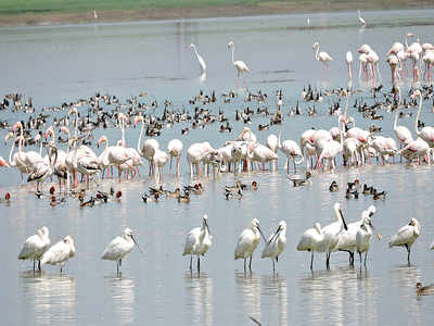 Mining hub Ballari turns into a flamingo paradise