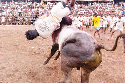 'If bull-fighting is cruel so is castrating dogs'