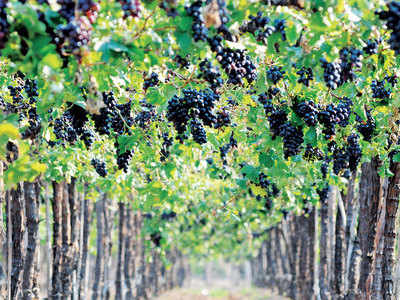 Wine tourism comes closer to Pune