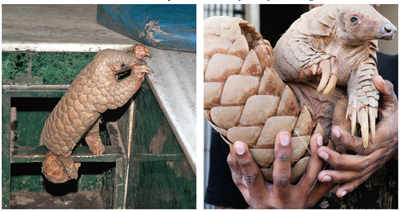 Poachers putting pangolins in peril