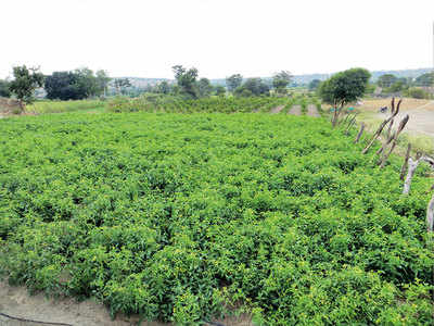 Marathwada farmers change crop pattern to conserve water