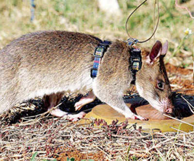 African rats to turn noses against poaching