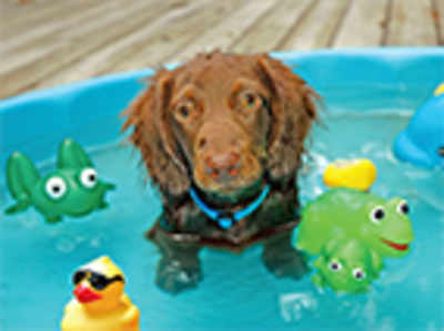 Pet Puja:  Here's how to care for your dog this summer