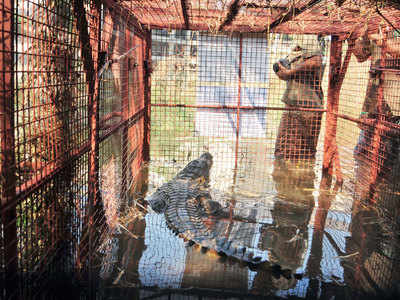 Crocodile rescued from construction site in Mulund released