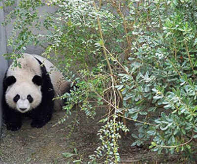 Pandas in culture shock after move to China