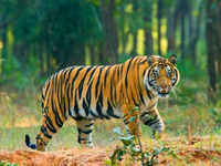 Tigress killed by tiger in MP's Kanha National Park