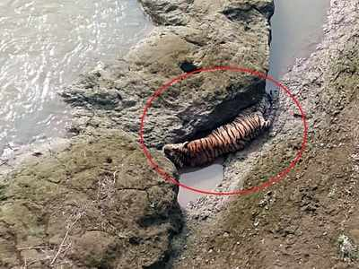 Tiger trapped between rocks in Chandrapur river dies