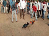 Andhra: Police bust illegal cockfighting and betting racket, 6 arrested