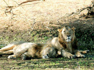 Lion cub dies of liver infection