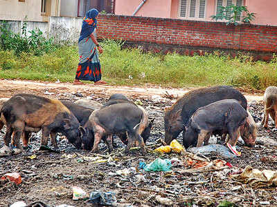 PMC wants cop aid in pig-catching drives as outsourced agency fails to meet targets