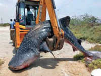 Tamil Nadu: 18-foot whale shark found dead near Tuticorin city