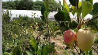 Punjab: Hoshiarpur farmer sets a shining example of apple cultivation