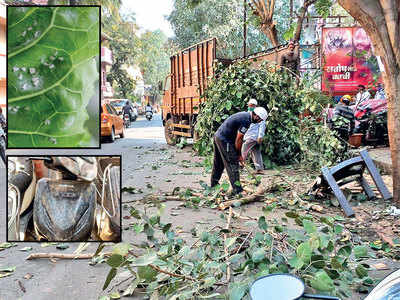 Chopping branches is PCMC's new pest control activity