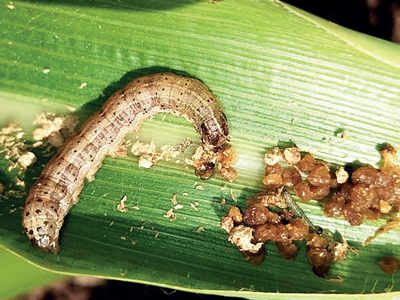 African pest attacks maize crops in state