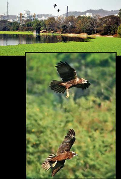 Hyacinth snare curbs migration at Pashan Lake